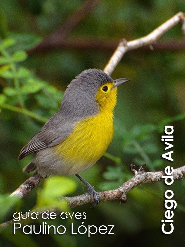 Ciego de Avila - guia de aves Paulino Lopez