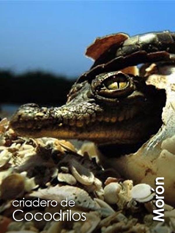 Moron - criadero de cocodrilos