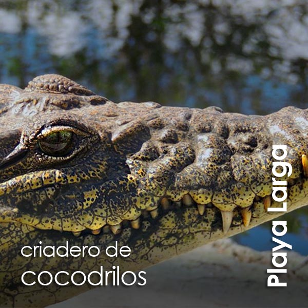 Playa Larga - criadero de cocodrilos
